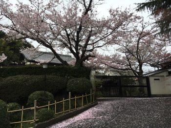和風建築と桜