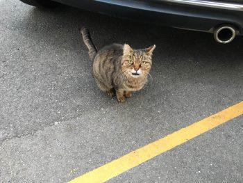 ネコ トラ 気まぐれ スリスリ